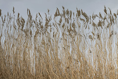 Dancing reed (mennomenno.) Tags: riet reed reflections reflecties ditch sloot bergschenhoek