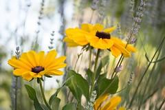 Lavandes et rudbeckias (Explored 2017-01-22) (Gisou68Fr) Tags: fleurs flowers lavande lavender rudbeckias jaune yellow garden jardin canoneos650d efs60mmf28macrousm