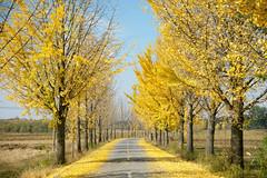 Street to Panmunjom (Frühtau) Tags: dprk north korea country side panmunjom street scene autumn colours nordkorea way border dmz 38th paralell tree baum bäume laub färbung asia asian east landscape