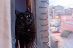 Conan 💜 (Zuncra*) Tags: cat gatito gatonegro gato animal felino conan mew bigeyes