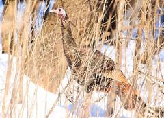 wild turkey hen near Lime Springs IA 854A4586 (lreis_naturalist) Tags: wild turkey hen lime springs howard county iowa larry reis