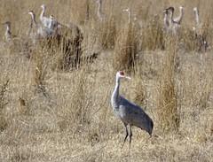 Who's A Handsome Crane (Sandy*S) Tags: sandhillcranes nebraska migration