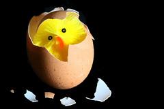 hello world (HansHolt) Tags: chicken chick kuiken polluelo poussin küken hatching uitkomen egg shell ei schaal oeuf huevo broken cracked tabletop hello world canon 6d 100mm canoneos6d canonef100mmf28macrousm macromondays hmm