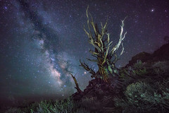 'The Tree of Thorns' (Gavin Hardcastle - Fototripper) Tags: astrophotography milky way astro photography night nightscapes tree bristlecone pine forest patriarch grove stars galaxy galactic core lightpainting gavinhardcastle fototripper