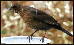 SG1S7865 SNOWING 1 (mike193823319483) Tags: blackbird