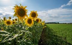 sunflowers (02) (Vlado Ferenčić) Tags: flowers field croatia sunflowers podravina hrvatska suncokret nikkor173528 nikond600