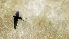 Hirundo rustica (VeNature) Tags: wild nature birds animals spring wildlife uccelli wilderness swallow rondine
