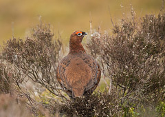 Red Grouse (Markp33) Tags: