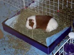 I'z comfy.  Go away.  9.17.15 (grannyju1) Tags: pets guineapig scatter sept 2015