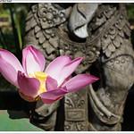Lotus Flower - D'Omah Bali Hotel