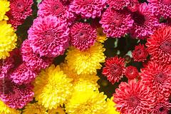 Tri-Color Mums (J. Sibiga Photography) Tags: nature colors natural mums floweres