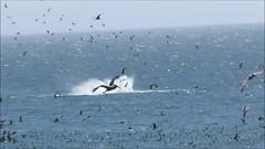 humpback whale tale slapping (tail lobbing) off Santa Cruz (rocksandstones) Tags: santa birds feeding tail off cruz whale humpback tale frenzy slapping lobbing