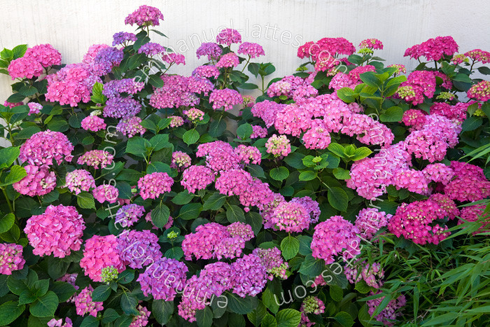 The world 39 s best photos of hortensia and shrub flickr hive mind - Hortensia fane en ete ...