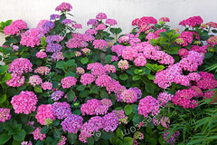Massif d'hortensia rose (Hydrangea macrophylla) en fleurs devant un mur (France). (Emmanuel LATTES) Tags: pink summer plant flower color colour fleur leaves rose wall plante garden leaf bush purple blossom group violet jardin bloom flowering hydrangea shrub t ornamental mur groupe horticultural multitude feuille bedding dense hortensia massif inflorescence macrophylla hydrangeaceae feuillage arbuste floraison horticole ornementale hydrangaces