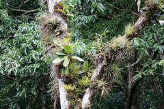 Costa Rica (joeksuey) Tags: costarica fungi bromeliads epiphytes curicancha
