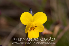 Viola langeana