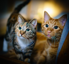 Pretty couple (^Baobab^) Tags: cats zeiss sony calico alpha orangetabby autofocus bestofcats platinumheartaward sonnartfe1855 fe55mmf18 a7rii ilce7rm2