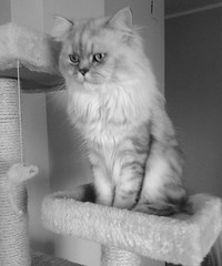 Persian cat  in her scratching post (romeosilverpersian) Tags: blackandwhite cats persiancats scratchingpost photoeffects silvertabby longhaircats tiragraffi silvershaded silvercats catbreed gattipersiani gattigrigi chinchillacats gattichinchilla gattiargentati