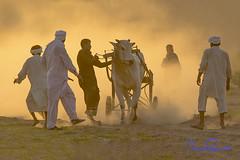 bull cart race (TARIQ HAMEED SULEMANI) Tags: travel pakistan tourism colors race trekking canon photography nikon culture sensational cart punjab tariq bul supershot concordians sulemani tariqhameedsulemani jahanian