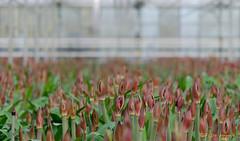 mooi rood is niet….. (www.petje-fotografie.nl) Tags: macro amaryllis bloemen kas stampers knoppen beaumonde huissen