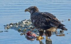 Feeding on Sushi; Bald Eagle style! (nickinthegarden) Tags: haliaeetusleucocephalus americanbaldeagle harrisonriver harrisonmillsbccanada