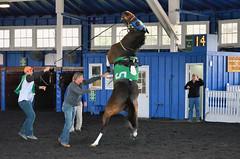 2015-12-06 (14) r5 show time at Laurel Park with #5 Scent of Gold (JLeeFleenor) Tags: photos photography md marylandhorseracing marylandracing laurelpark horses thoroughbreds equine equestrian cheval cavalo cavallo cavall caballo pferd paard perd hevonen hest hestur cal kon konj beygir capall ceffyl cuddy yarraman faras alogo soos kuda uma pfeerd koin حصان кон 马 häst άλογο סוס घोड़ा 馬 koń лошадь paddock misbehaving maryland