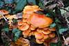 Flammulina velutipes (Marcell Kárpáti) Tags: autumn winter orange mushroom flora hungary bright fungi fungus shroom sopron magyarország enoki agaricales flammulinavelutipes velvetstem marasmiaceae wintermushroom velvetfoot télifülőke collybiavelutipes