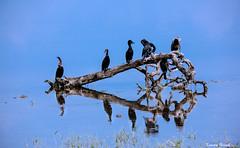 (kumherath) Tags: indiandarters bundala birds water blue outdoor morning canon5dmark3 sigma150600sports kumariherathphotography srilanka