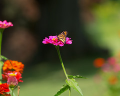 (zoomclic) Tags: canon 5dmarkii closeup bokeh dof dreamy zinnia butterfly monarch green garden flower foliage flowers plant red orange yellow nature summer outdoors sunny threesome bright happy zoomclicphotography