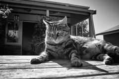 Thinking (M J Adamson) Tags: cats pets furchildren sweetpea nz newzealand
