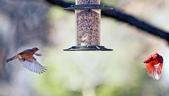 Fast Food 2008 (hz536n/George Thomas) Tags: 2008 copyright cs5 nik ef300mmf4lisusm bokeh bird finch tree nature stillwater oklahoma canon30d obga housefinch
