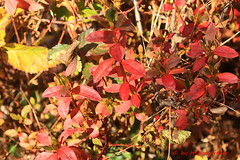 And the Color Continues.... (tripod_treker) Tags: autumn mothernature fallcolors red azalea ef100400mmf4556lisiiusm