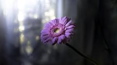 Spring Light  Outside (Explored#194)春光 (G.LAI) Tags: explore pink flower flora garden spring light photo canon markiii canada conflower cornflower