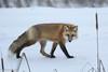 Red Fox (mobull_98) Tags: red fox redfox