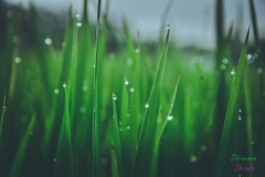 _DSC0598-4 (ricco_stf) Tags: morning picture pictureoftheday sawah photograph nikon lightroom adobelightroom