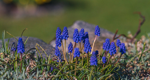 Grape Hyacinth (Muscari)