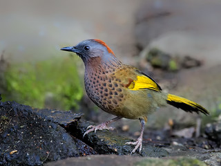 Chestnut-crowned Laughingthrush _ 百花嶺-08 ☺☺☺