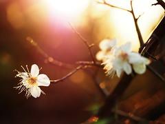 2017 The First sunrise and plum blossoms (Tomo M) Tags: sunrise newyear 元旦 初日の出 plum plumblossom tokyo backlit 2017 macro