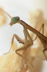 Praying Mantis Nymph (Larah McElroy) Tags: photograph photography picture pictures larah mcelroy larahmcelroy bug bugs insect insects macro mantis prayingmantis praying nymph prayingmantisnymph