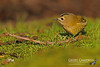 Goldcrest (Regulus regulus) (gcampbellphoto) Tags: goldcrest regulus bird passerine woodland garden nature wildlife co antrim gcampbellphotocouk irish outdoor animal