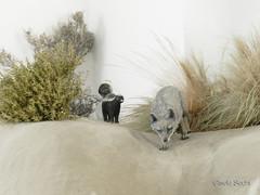 fauna embalsamada (► ► www.giselas.com.ar ◄ ◄) Tags: museo zorro gris patagonia fauna autóctono punta tombo sur argentina embalsamado animal