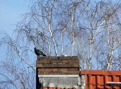 today in my city... (BrigitteE1) Tags: todayinmycity bremen deutschland germany dohle jackdaw vogel bird birke birch blue sky tree treetop white winter day today january