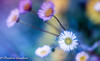 wild complexity (frederic.gombert) Tags: daisy flower light color colorful colored sun wild colors sunlight plant garden macro nikon d810