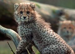 cheetah Burgerszoo JN6A8371 (j.a.kok) Tags: cheetah jachtluipaard acinonyxjubatus acinonyxjubates burgerszoo burgerzoo cat kat predator africa afrika mammal