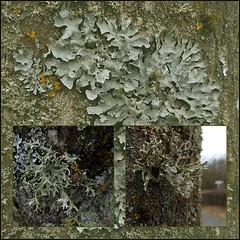 4 - Lichens fructiculeux & Cie (melina1965) Tags: 2017 février february bourgogne saôneetloire saintvallier burgondy nikon coolpix s3700 winter hiver mosaïque mosaïques mosaic mosaics collage collages macro macros arbre arbres tree trees lichen lichens