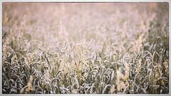Hay field (Chas56) Tags: hay field fields farm rural crop crops canon canon5dmkiii landscape grass plant flora geelong