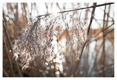 Fluffy (leo.roos) Tags: reeds reed riet ice winter seedheads fluffy fluffiness solleveld distagon2128zf distagon carlzeissdistagon2128 zf cz a7rii dayprime day21 dayprime2017 dyxum challenge prime primes lens lenses lenzen brandpuntsafstand focallength fl darosa leoroos