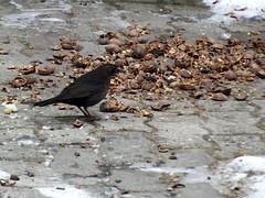 Walnut lunch (vegeta25) Tags: fujifilm fuji s3200 myfuji winter bird animal outdoor snow walnut broken lunch food abitetoeat 117picturesin2017