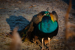 peacock (J. Schouten) Tags: peacock pauw wild colours