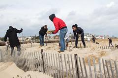 Dune Grass Planting 12 (martinalonso4895) Tags: sanddune dunegrass collegeclub beach environment erosion